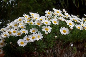 Spring daisies in the garden