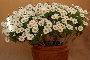 Spring daisies on clay pot