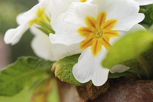 Primroses clay pot in bloom