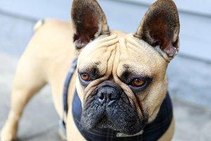 French Bulldog Adult Male Fawn