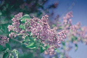 Flowers Lilac Branch