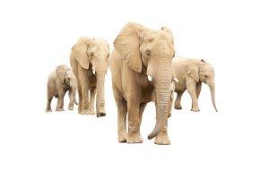 Set of Baby/Adult Elephants Isolated