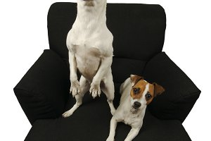 Two Jack Russell Terriers on a Chair
