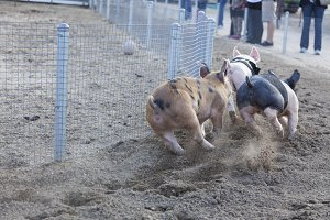 A Fun Day at the Little Pig Races