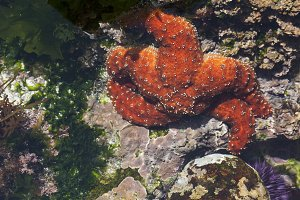 Beautiful Orange Starfish in Shallow