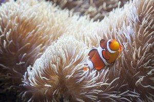 Beautiful Clownfish and Sea Anemone