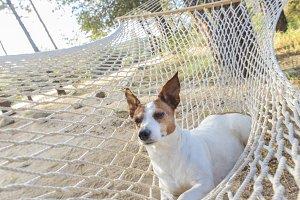 Jack Russell Terrier in a Hammock