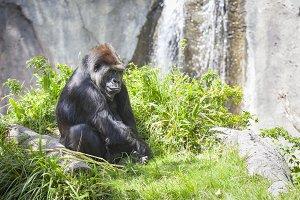 Western Lowland Gorilla Relaxing