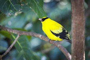 Black-naped Oriole of Eastern Asia o