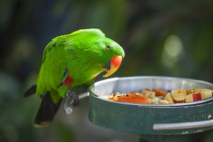 Male Indonesian Eclectus Parrot Eats