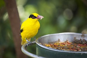 Feeding Black-naped Oriole