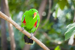 Indonesian Eclectus Parrot on a Limb
