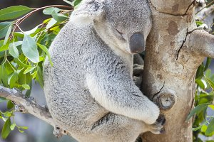 Sleeping Koala Bear in a Tree