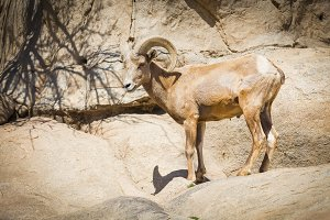 Desert Bighorn Sheep on the Hillside