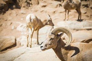 Desert Bighorn Sheep on the Hillside