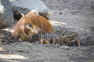 Visayan Warty Piglets with Mother