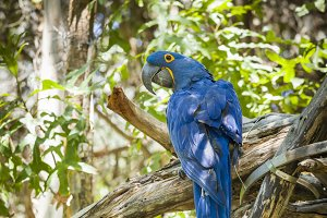 Endangered Hyacinth Macaw