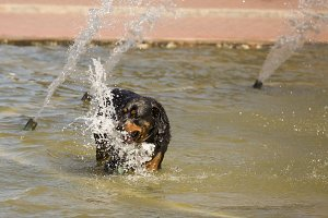 Happy Rottweiler Plays in the Water