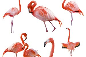 Collection of Isolated Flamingos