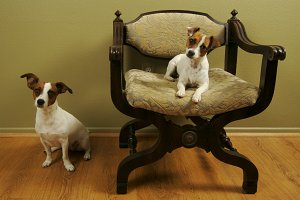 Two Adorable Jack Russell Pups