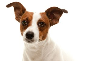Portait of an Adorable Jack Russell