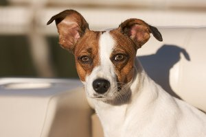 Majestic Jack Russell Terrier Dog