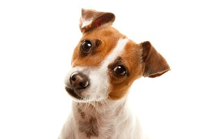 Portrait of Adorable Jack Russell