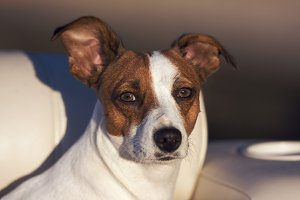 Young Jack Russell Terrier Dog