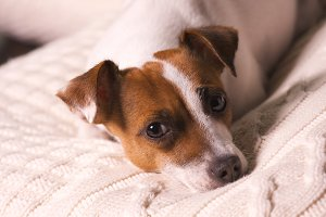 Jack Russell Terrier Dog Puppy
