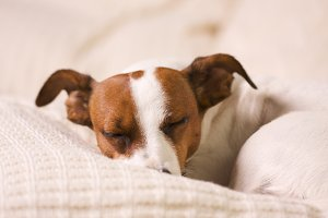 Sleeing Jack Russell Terrier Dog