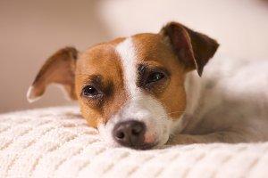 Sleepy Jack Russell Terrier Pup