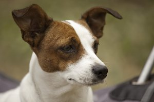 Portrait of an Adorable Jack Russell