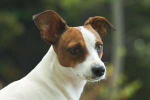 Beautiful Jack Russell Terrier