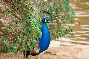 Impressive Proud Peacock