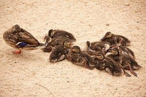 Mother Mallard Duck with Babies