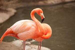 Beautiful Flamingo Couple Near Pond
