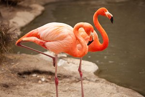 Pair of Beautiful Flamingos