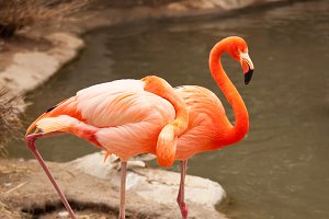 Two Beautiful Flamingos