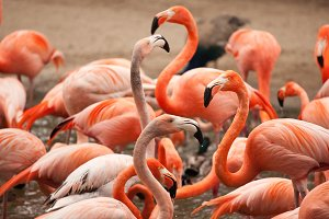 Flock of Beautiful Flamingos