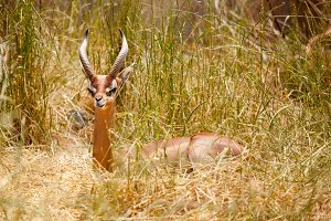 Beautiful Gazelle Resting in Grass