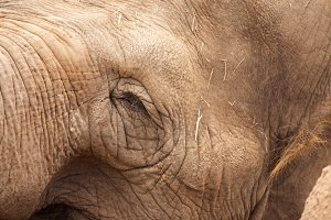 Eye of Majestic Endangered Elephant