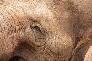 Eye of Majestic Endangered Elephant