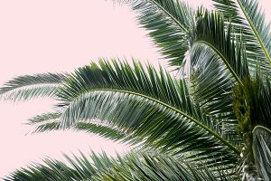 Palm Tree on Blush Pink Photo