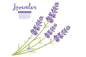 Branch of Lavender Flowers Isolated