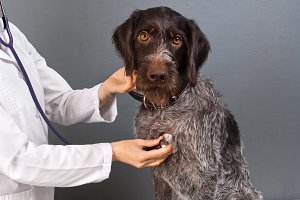 vet examine dog with stethoscope