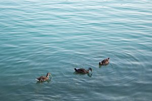 ducks swim