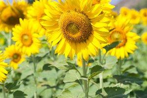 Sunflower in a field