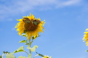 Glasses with sunflower