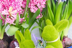 Gardening concept with hyacinth fres