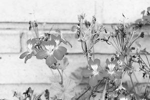 Geranium in a White Brick Wall Backg